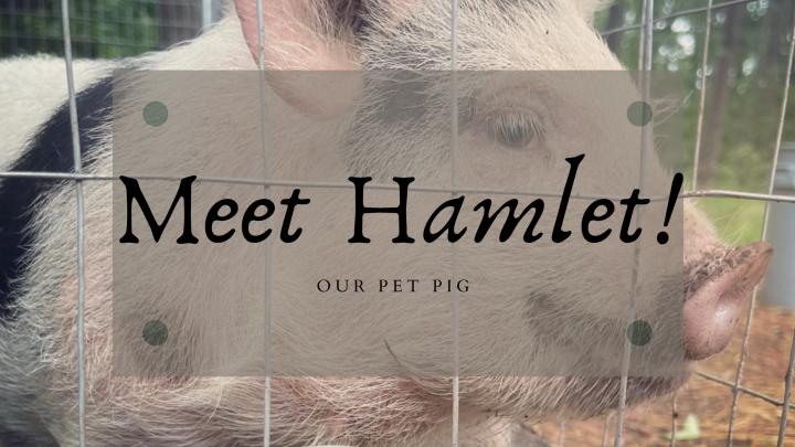 Meet our Piggy,Hamlet!